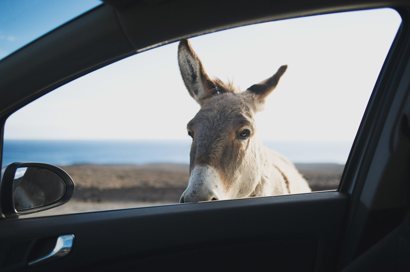 donkey on Fuerteventura